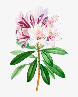 Розовый цветок рододендрона