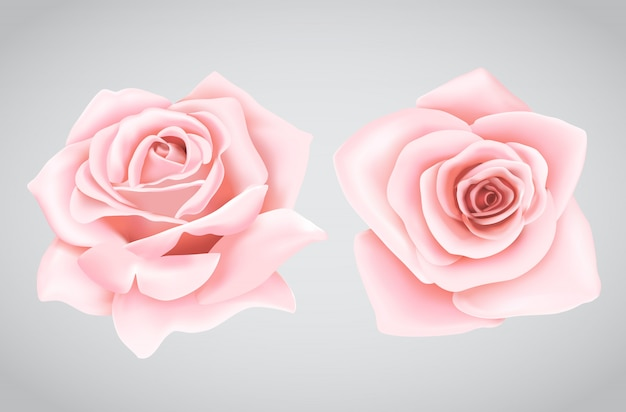 Pink rose flower on isolated background