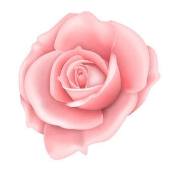Pink rose flower isolated on white