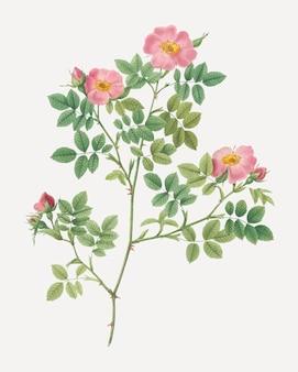 Pink roses in bloom