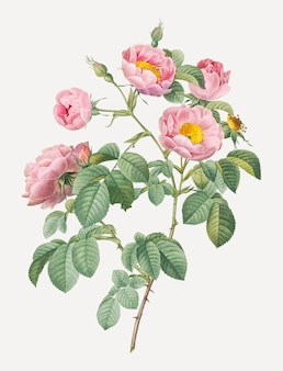 Розовые розы в цвету