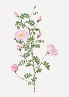 Pink scotch briar rose