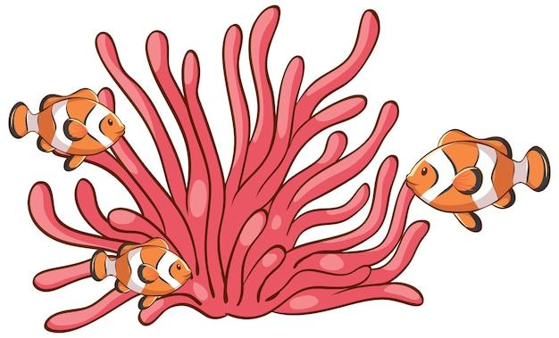白い背景の上のカクレクマノミとピンクの海の珊瑚