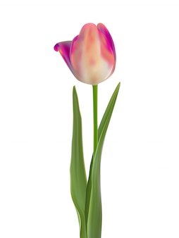 Pink tulip flower isolated on white