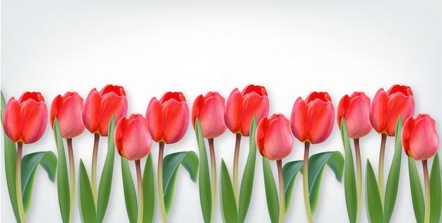 Pink tulip flowers on white background