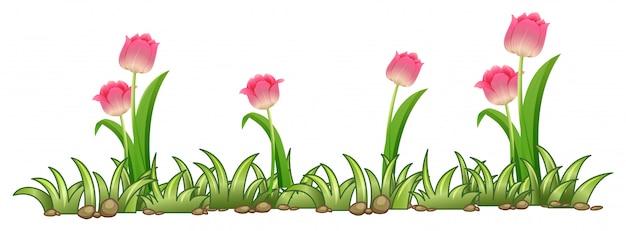 白い背景にピンクチューリップの庭