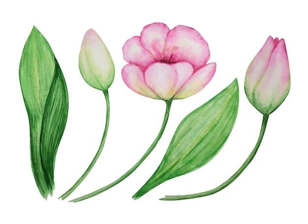 핑크 튤립 세트 수채화 식물 그림