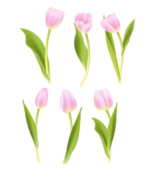 Pink tulip vector collection