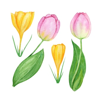Pink tulip yellow crocus set, hand drawn watercolor botanical illustration