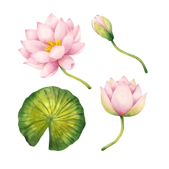 Pink water lily flowers, bud, leaf. set of botanical cliparts with flowering plants