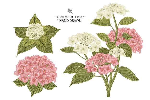 Pink and white hydrangea flower hand drawn botanical illustrations.