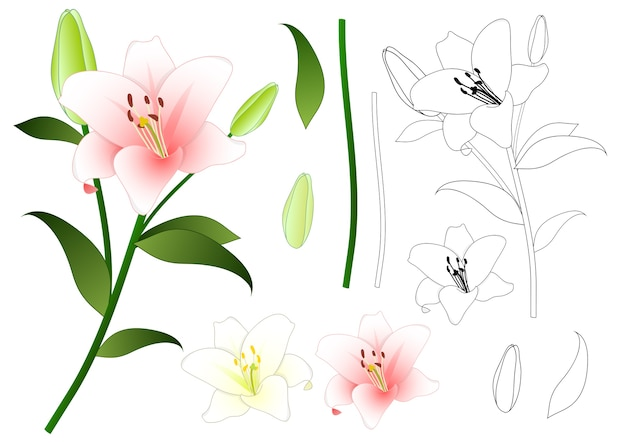 Pink and white lily outline