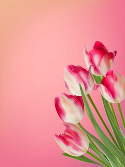 Pink and white tulip with green leaves.