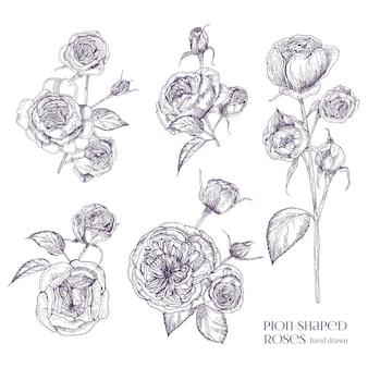 Пион в форме розы иллюстрации. растение, цветы, листья, рисованной набор. черно-белые иллюстрации коллекции.