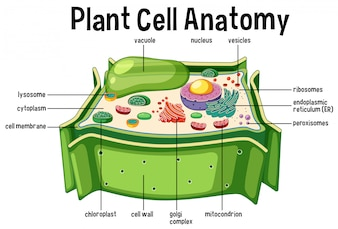 Lysosome vectors photos and psd files free download plant cell anatomy diagram ccuart Images