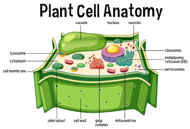 Диаграмма анатомии растений