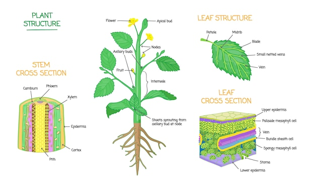 Plant structure cross section diagrams