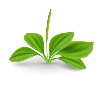 Plantago leaves