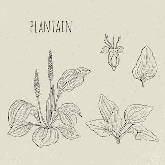 Подорожник медицинская ботаническая иллюстрация. растение, листья, цветы рисованной набор. старинный эскиз.