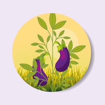 Plantation vegetable harvesting eggplant