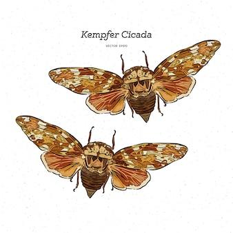 Platypleura kaempferi cicada illustration