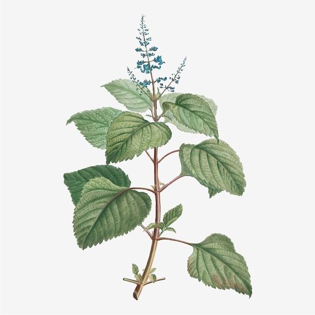 Plectranthus fruticosus vector