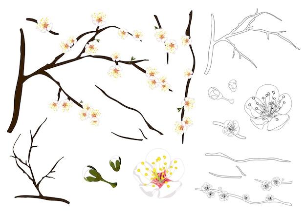 Plum blossom flower outline