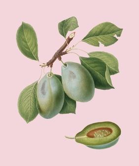 Plum from pomona italiana illustration
