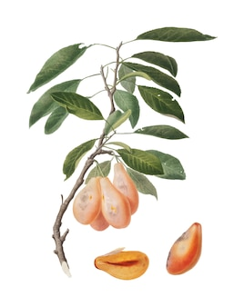 Plum from pomona italiana illustration