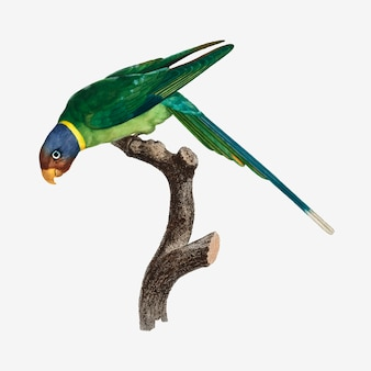 Пламеголовый попугай