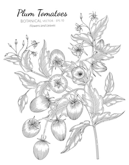Plum tomato botanical hand drawn illustration.