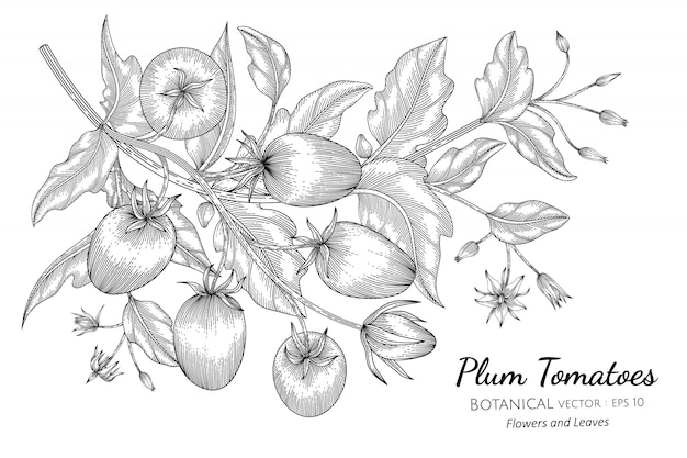 Plum tomato hand drawn botanical illustration with line art on white
