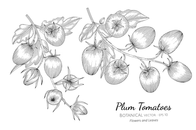 Plum tomato hand drawn botanical illustration.