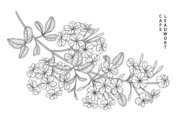 Plumbago auriculata (cape leadwort) flower drawings.