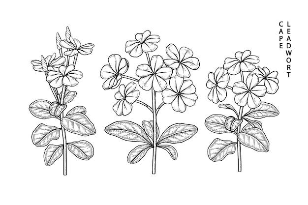 Plumbago auriculata (cape leadwort) fiore illustrazioni botaniche disegnate a mano.
