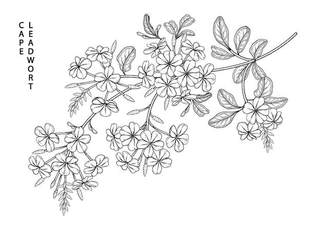 白で分離されたルリマツリの花