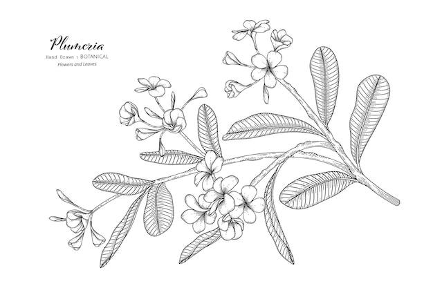플루메리아 꽃과 잎 손으로 그린 식물 삽화가 라인 아트로 그려져 있습니다.