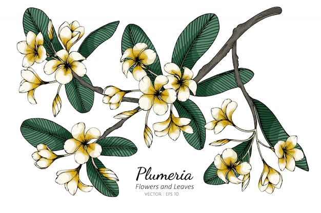 Plumeria flower and leaf drawing illustration with line art on white