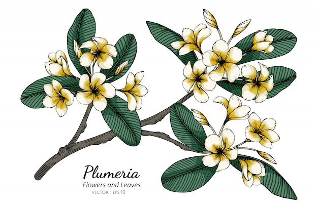 Plumeria flower and leaf drawing illustration with line art on whites.