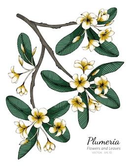 Plumeria flower and leaf drawing illustration