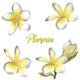 Plumeria flowers. vector illustration.