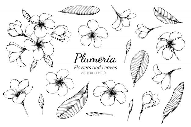 Комплект собрания цветка plumeria и иллюстрации чертежа листьев.