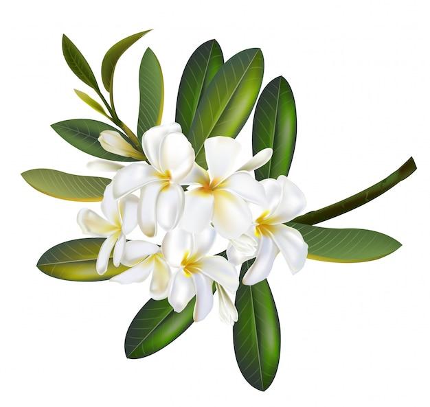 Цветы plumeria