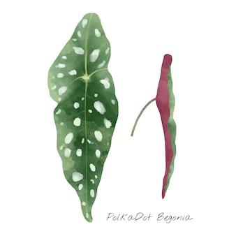 Polkadot begonia leaf isolated on white background