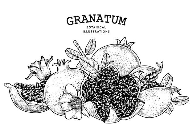 Pomegranate fruit hand drawn retro illustration