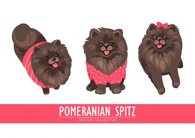 포메라니안 스피츠 크림, 오렌지와 어두운 흰색 배경에 고립. 귀여운 pom 강아지 옷을 입고-스웨터, 활. 작은 개.