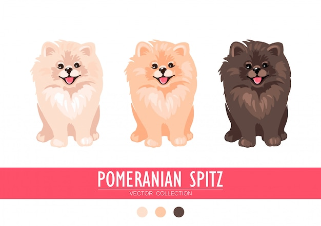 Pomeranian spitz cream, orange and dark isolated on white background. cute poms puppies. small german spitz. little dogs.