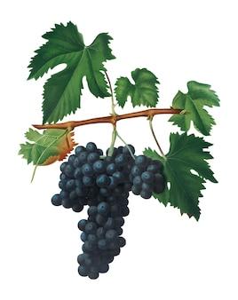 Pomona italianaイラストのlacrimaブドウ