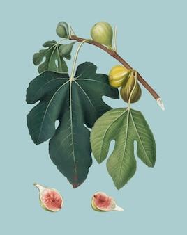 Рис из иллюстрации pomona italiana