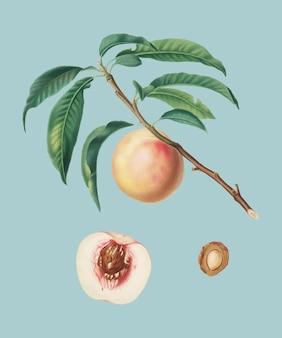 Белый спелый персик из иллюстрации pomona italiana